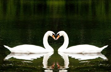 swans of synchronicity