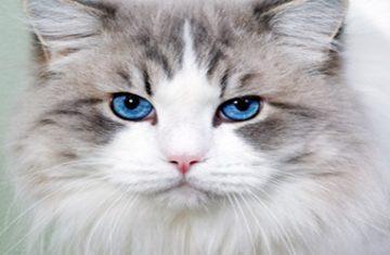 blueeyedcat